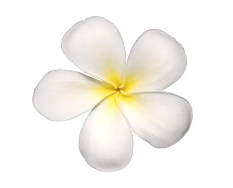花「Plumeria flower」:スマホ壁紙(16)