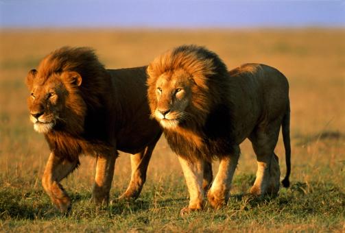 Walking「Two male lions (Panthera leo) walking across plain, Kenya」:スマホ壁紙(18)