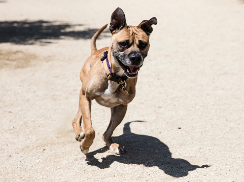 Charitable Foundation「Three-legged Boxer Mix Running at a Park - The Amanda Collection」:スマホ壁紙(18)