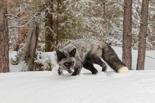 Fox「Silver Fox (Vulpes Vulpes.) in snow, Montana, USA」:スマホ壁紙(19)