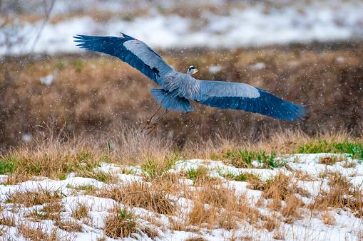 Animal Wing「Blue Heron」:スマホ壁紙(12)