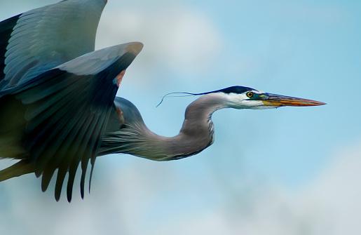 Three Quarter Length「Blue Heron Flight」:スマホ壁紙(17)