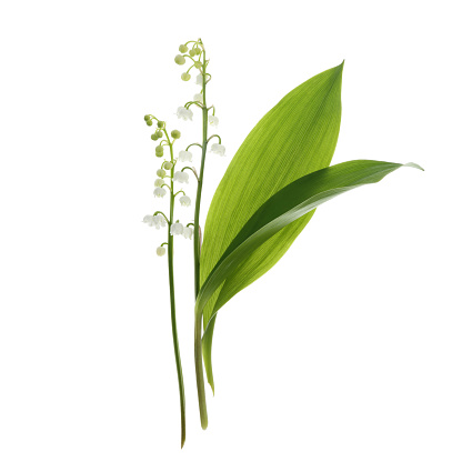 Girly「Fragrant Lily-of-the-Valley flowers & leaves on white」:スマホ壁紙(1)