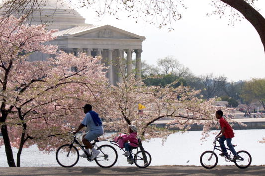 Petal「Washington's Cherry Blossoms」:写真・画像(15)[壁紙.com]