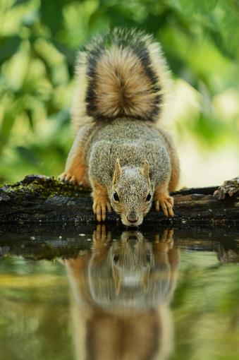 リス「Eastern Fox Squirrel (Sciurus Niger) drinking, Hill Country, Texas, USA」:スマホ壁紙(2)