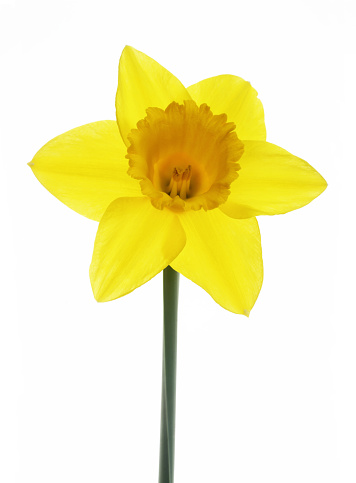 Daffodil「Pretty yellow daffodil with orange trumpet on white.」:スマホ壁紙(19)
