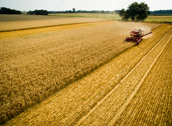 Cereal Plant「Wheat Harvest Begins Amidst Hot Summer」:写真・画像(3)[壁紙.com]
