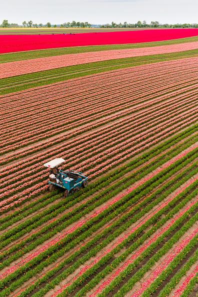 チューリップ「Tulip Fields Blossom Near Magdeburg」:写真・画像(12)[壁紙.com]
