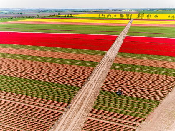 チューリップ「Tulip Fields Blossom Near Magdeburg」:写真・画像(1)[壁紙.com]