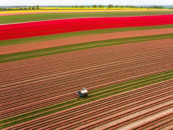 Cultivated Land「Tulip Fields Blossom Near Magdeburg」:写真・画像(1)[壁紙.com]