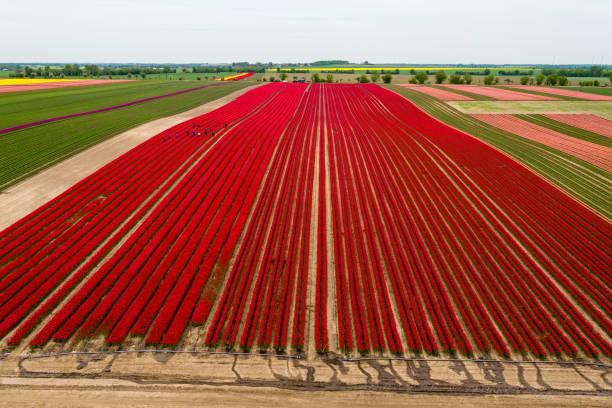 Tulip Fields Blossom Near Magdeburg:ニュース(壁紙.com)