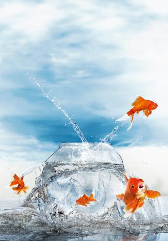 金魚「Gold fish jumping out of fish bowl, close up」:スマホ壁紙(13)