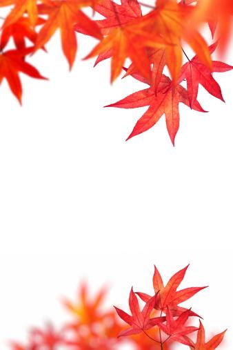紅葉「レッドの秋の葉に白背景」:スマホ壁紙(1)