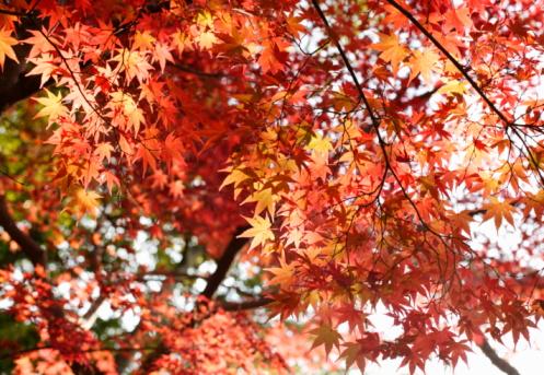 Nikko City「Red Autumn Maple leaves」:スマホ壁紙(3)