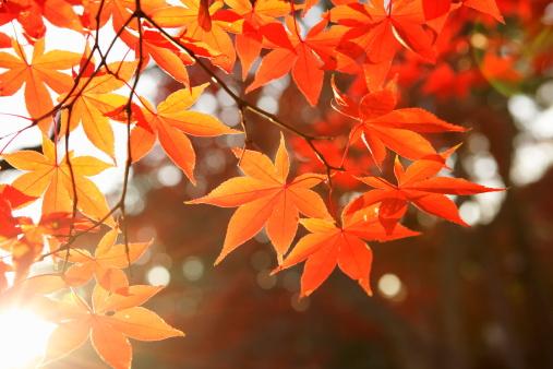 紅葉「Red Autumn Maple leaves」:スマホ壁紙(13)