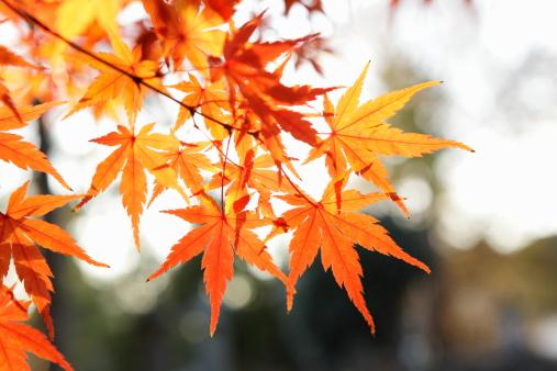 カエデ「Red Autumn Maple leaves」:スマホ壁紙(19)