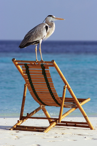 Outdoor Chair「Heron Standing on Beach Chair」:スマホ壁紙(1)