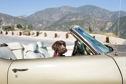 Carefree「Young dog in vintage convertible in mountains」:スマホ壁紙(4)