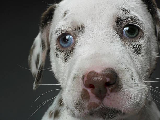 Dalmatian puppy, close-up:スマホ壁紙(壁紙.com)