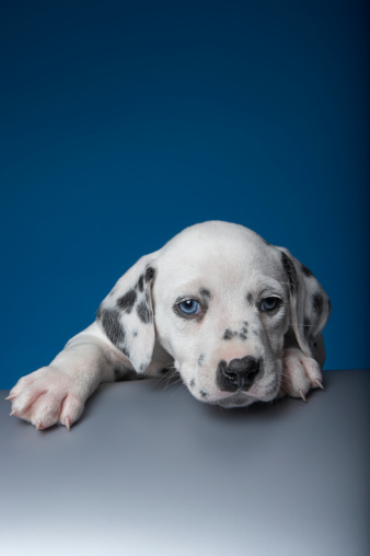 sumona「Dalmatian puppy climbing on ledge, paw outstretched」:スマホ壁紙(11)