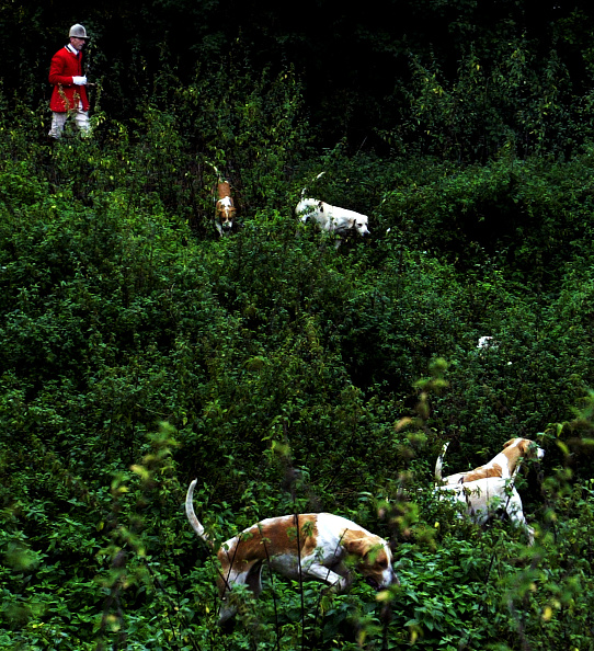 Animals Hunting「A Fox Hunt Gets Underway In Kent」:写真・画像(9)[壁紙.com]