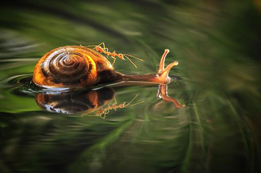 カタツムリ「Snail swimming in water with an ant on its back」:スマホ壁紙(8)