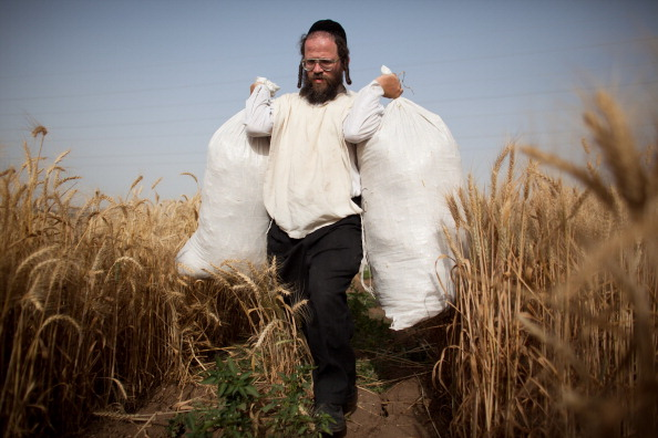 Cereal Plant「Orthodox Jews Harvest Wheat For Next Year's Passover」:写真・画像(15)[壁紙.com]
