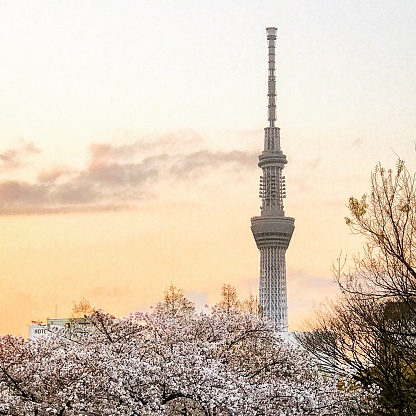 Sakura「花と東京スカイツリー」:スマホ壁紙(0)