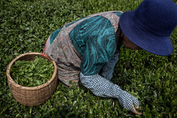 静岡県「Farmers Handpick First Tea Of Season In Shizuoka」:写真・画像(16)[壁紙.com]