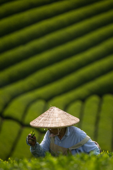 静岡県「Farmers Handpick First Tea Of Season In Shizuoka」:写真・画像(0)[壁紙.com]