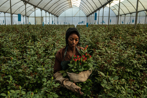 Bestpix「Flower Farming In Kenya, World's Fourth-Largest Cut-Flower Exporter」:写真・画像(7)[壁紙.com]