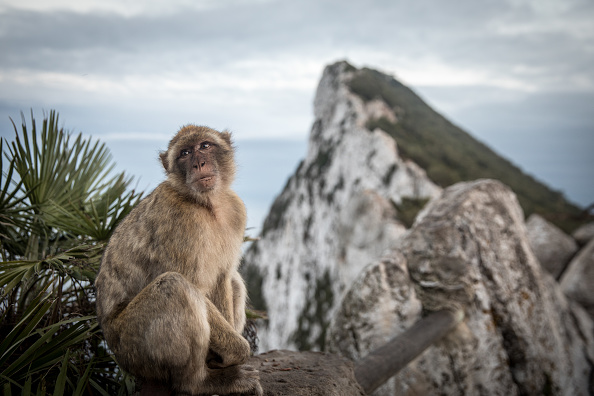 Monkey「Brexit Uncertainty Mounts For Gibraltar」:写真・画像(4)[壁紙.com]