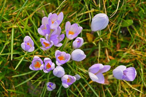 Iris Family「Crocus in early Spring」:スマホ壁紙(18)
