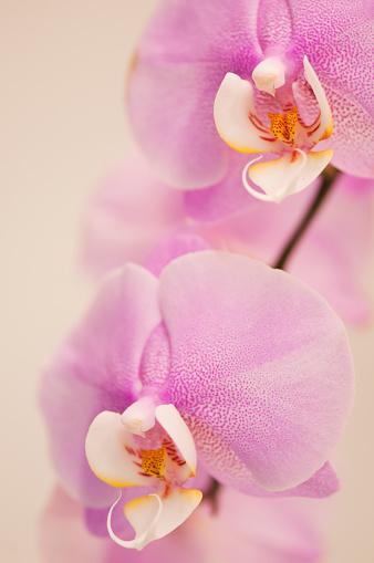 花「Pink Phalaenopsis Hybrid Flower Duo」:スマホ壁紙(0)