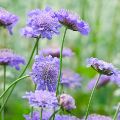 Pin Cushion「Pincushion Flower: Scabiosa 'Butterfly blue' - II」:スマホ壁紙(10)