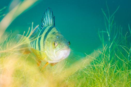 Freshwater Fish「European Perch underwater in Schladitzer See」:スマホ壁紙(18)