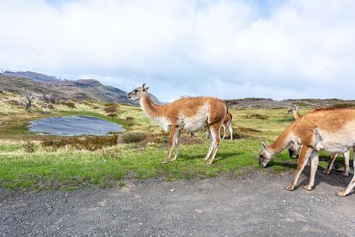 Guanaco「Llamas at Parque Nacional Torres del Paine - Torres del Paine National Park, Chile」:スマホ壁紙(2)