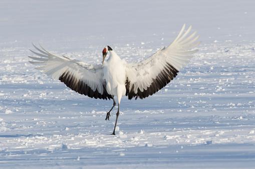 Hokkaido「Red Crowned Crane winter snow Hokkaido」:スマホ壁紙(16)