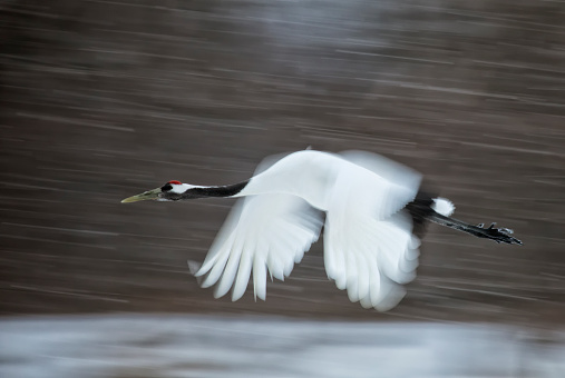 Hokkaido「Red Crowned Crane in flight, with motion」:スマホ壁紙(19)