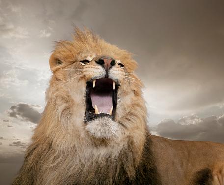 Furious「Growling lion」:スマホ壁紙(3)