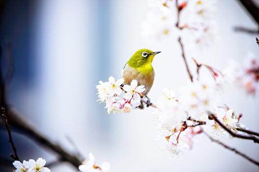 Bird「Ume and Mejiro」:スマホ壁紙(13)