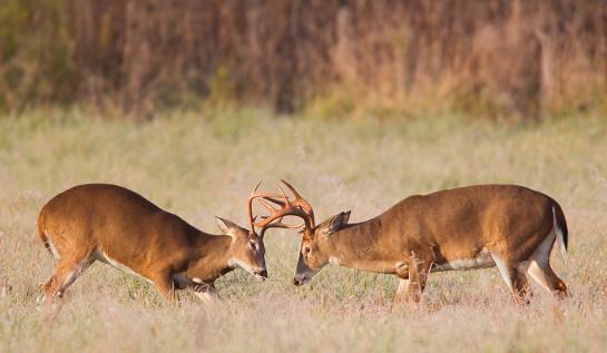 Rutting「Sparring Deer」:スマホ壁紙(15)
