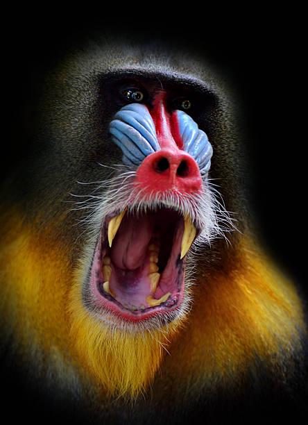 screaming mandrill:スマホ壁紙(壁紙.com)
