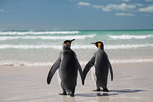 Falkland Islands「Two king penguins on beach」:スマホ壁紙(8)
