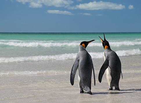 Falkland Islands「Two king penguins on beach」:スマホ壁紙(10)