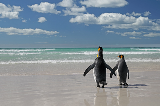 Falkland Islands「Two king penguins on beach」:スマホ壁紙(9)