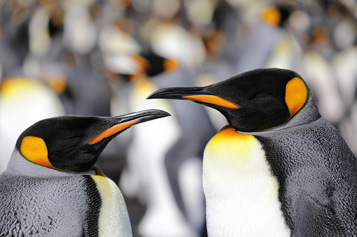Falkland Islands「Two king penguins looking at each other, others in background」:スマホ壁紙(4)
