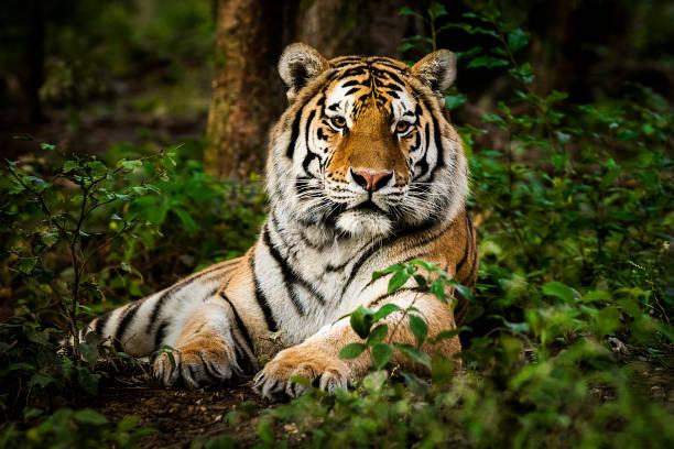Tiger portrait:スマホ壁紙(壁紙.com)