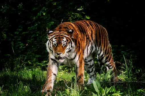虎「タイガーのポートレート」:スマホ壁紙(16)