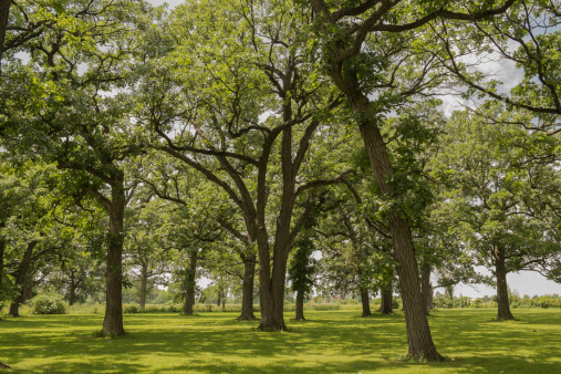 Grove「Oak Trees,」:スマホ壁紙(10)